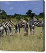 Zebra Group Canvas Print