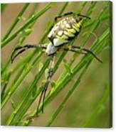 Zebra Spider Canvas Print