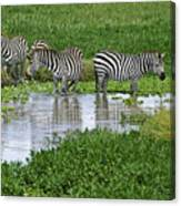 Zebras In The Swamp Canvas Print