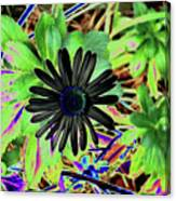 10-15-16--4996 # 2 Montauk Daisy Don't Drop The Crystal Ball Canvas Print