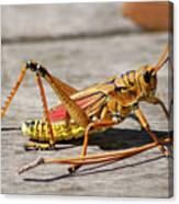 10- Lubber Grasshopper Canvas Print