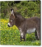 Miniature Donkey Foal Canvas Print