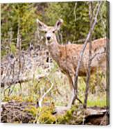 Mule Deer In The Pike National Forest Of Colorado Canvas Print