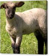 Spring Lamb Canvas Print