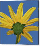 Wild Sunflower Stony Brook New York  Canvas Print