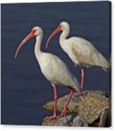 100b5790 White Ibis Canvas Print