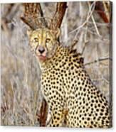 1022 Cheetah Canvas Print