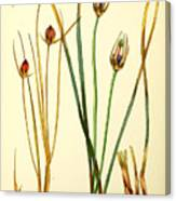 Illustrations Of The Flowering Plants And Ferns Of The Falkland Islands Canvas Print