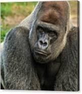 10898 Gorilla Canvas Print