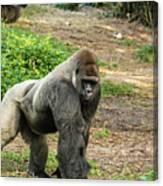10899 Gorilla Canvas Print