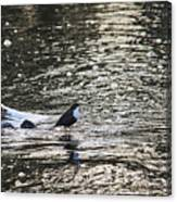 White-throated Dipper Canvas Print
