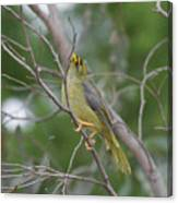 Bellbird Canvas Print