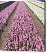 Hyacinths Fields Canvas Print