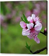 Blossoming Peach Flowers  Closeup Canvas Print