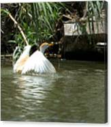 Cattle Egret Cooling Off In The Lake Canvas Print