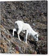 Dahl Sheep, Turnigan Arm Canvas Print