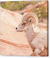 Desert Bighorn Ram Canvas Print