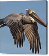 Beautiful Pelican Canvas Print