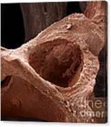 Human Bone, Sem Canvas Print