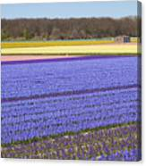 Hyacinths Fields Canvas Print