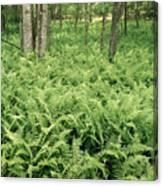 146112 Ferns In Pisgah Nat Forest V Canvas Print