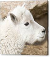 Baby Mountain Goats On Mount Evans Canvas Print