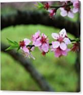Blossoming Peach Flowers  Closeup Canvas Print