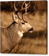 15-point Mule Deer Stepping Along Canvas Print