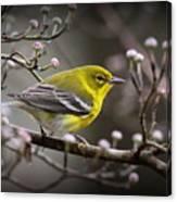 1574 - Pine Warbler Canvas Print