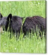 American Black Bear Yellowstone Usa Canvas Print