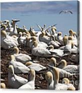Gannet Colony Canvas Print