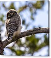 Hawk Owl Canvas Print