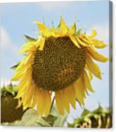 Nice Sunflower Canvas Print