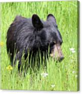American Black Bear Yellowstone Usa Canvas Print