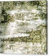 Detail Of Brich Bark Texture Canvas Print