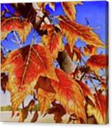 #199 Red Maple Canvas Print