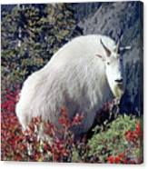 1m4900 Mountain Goat Near Mt. St. Helens Canvas Print
