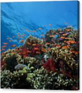 A School Of Orange Basslets Canvas Print