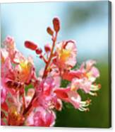 Aesculus X Carnea, Or Red Horse-chestnut Flower Canvas Print