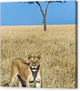 African Lioness Panthera Leo, Serengeti Canvas Print