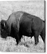 American Bison Buffalo Bull Feeding On Dry Fall Grass Canvas Print