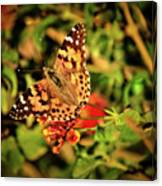 American Painted Lady Canvas Print