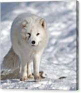 Arctic Fox... Canvas Print
