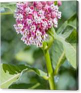 Asclepias Flower Canvas Print