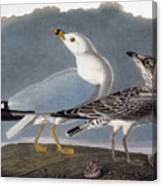 Audubon: Gull Canvas Print