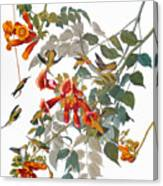 Audubon: Hummingbird Canvas Print