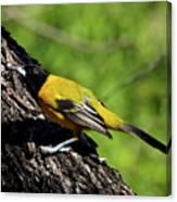 Audubon Oriole Canvas Print