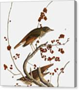 Audubon: Thrush Canvas Print