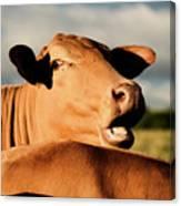 Australian Cows Canvas Print