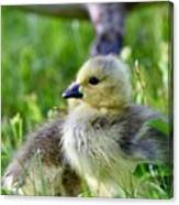 Baby Goose Chick Canvas Print